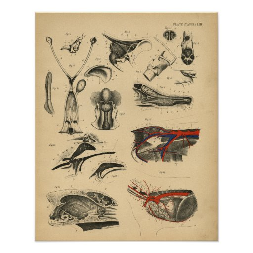 Dog Internal Anatomy 1908 Vintage Print