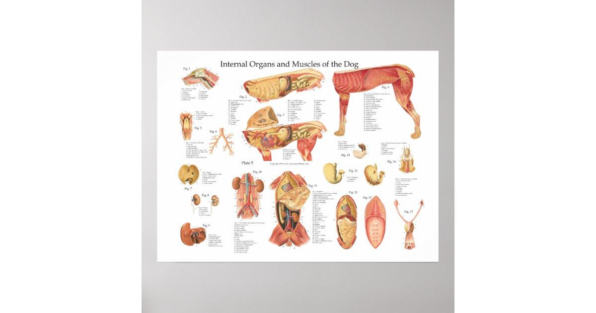 Dog Internal Organ Anatomy Poster Chart Zazzle