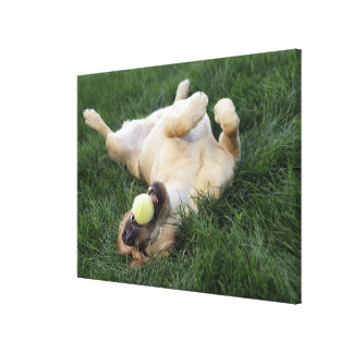 Dog laying upside down in grass with tennis ball stretched canvas print