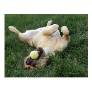 Dog laying upside down in grass with tennis ball postcard