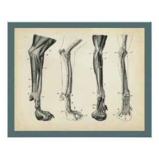 Dog Leg Bones Muscles Veterinary Anatomy Print