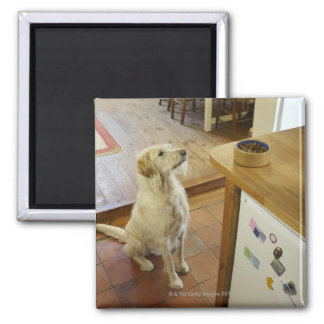 Dog looking at food on table. magnet