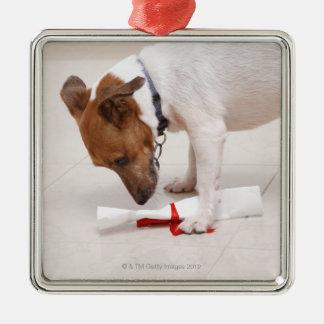 Dog looking down a diploma christmas ornament