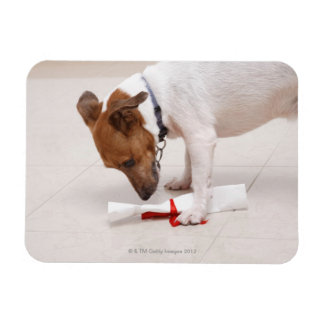 Dog looking down a diploma rectangular photo magnet