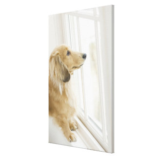 Dog looking out window canvas print