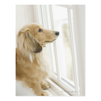 Dog looking out window postcard
