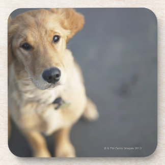 Dog looking up, close-up coaster