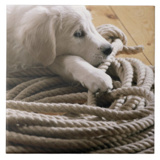 Dog lying with rope on wooden floor, elevated large square tile