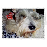 DOG: Mini Greman Schnauzer Napping Red Ribbon Greeting Cards