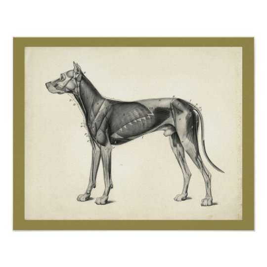 Dog Muscle Veterinary Anatomy Print