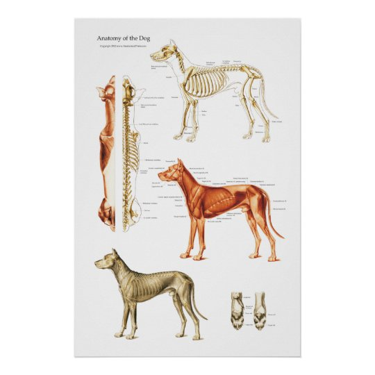 Dog Muscular and Skeletal Anatomy Poster