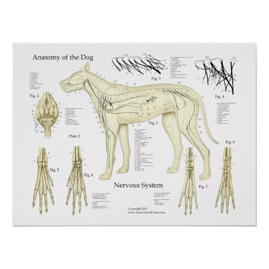 Dog Nervous System Anatomy Poster Chart
