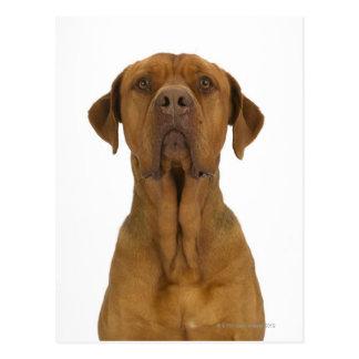 Dog on White 38 Postcard