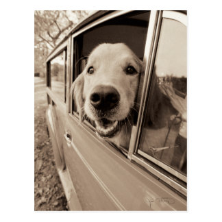 Dog Peeking Out a Car Window Postcard