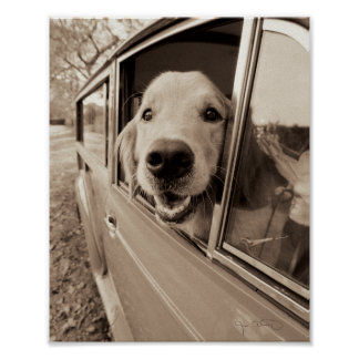 Dog Peeking Out a Car Window Poster
