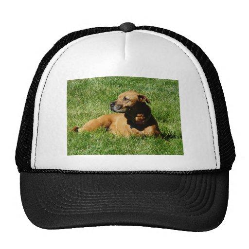 dog,pitbull/boxer mix mesh hat