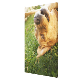 Dog rolling on back canvas print