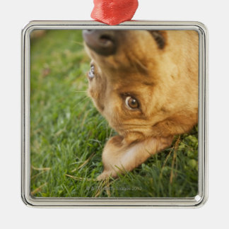 Dog rolling on back christmas ornament