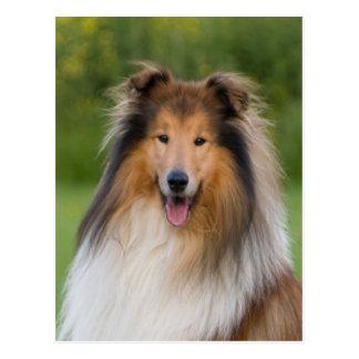 dog rough collie wait for love postcard