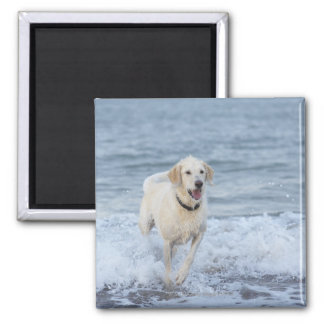 Dog running in water at beach. square magnet