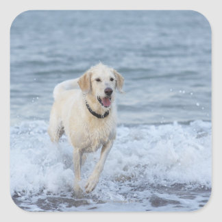 Dog running in water at beach. square sticker