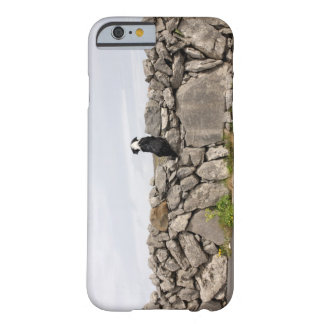 Dog sitting on a traditional Irish stone wall on Barely There iPhone 6 Case
