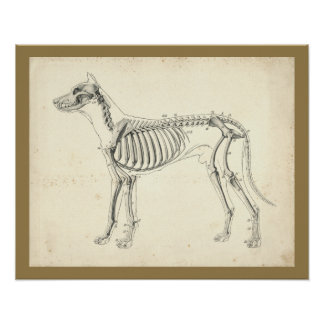 Dog Skeleton Bones Veterinary Anatomy Print