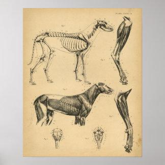 Dog Skeleton Muscles Anatomy 1908 Vintage Print