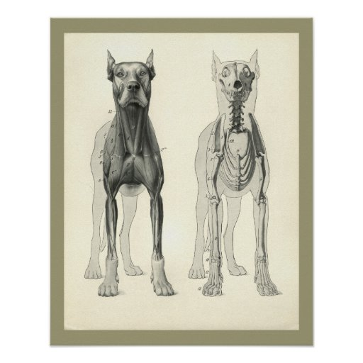 Dog Skull Legs Skeleton Muscle Anatomy Print