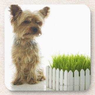 Dog sniffing neighbors yard coaster