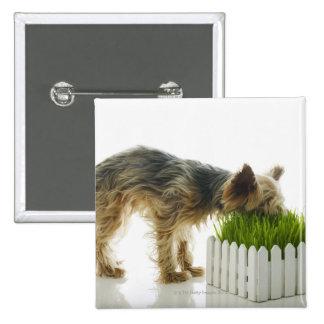 Dog sniffing neighbors yard shot in studio 15 cm square badge