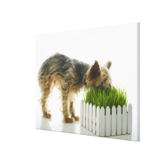 Dog sniffing neighbors yard shot in studio canvas print