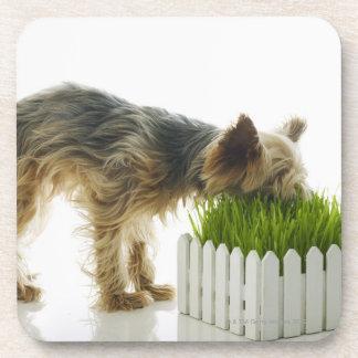 Dog sniffing neighbors yard shot in studio coasters