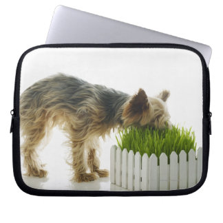 Dog sniffing neighbors yard shot in studio laptop sleeve