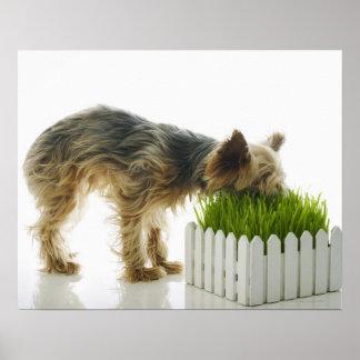 Dog sniffing neighbors yard shot in studio poster