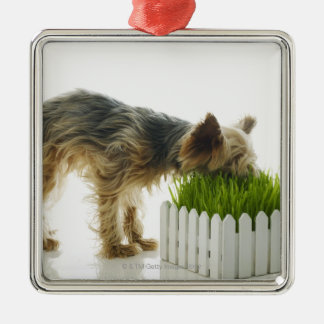 Dog sniffing neighbors yard shot in studio Silver-Colored square decoration