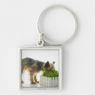 Dog sniffing neighbors yard shot in studio Silver-Colored square key ring