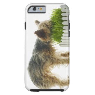 Dog sniffing neighbours yard shot in studio tough iPhone 6 case