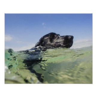 Dog swimming in water poster
