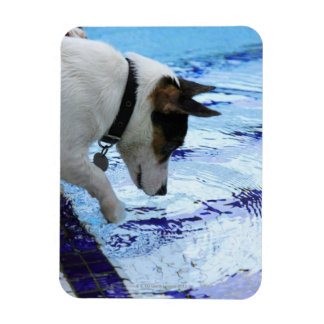 Dog touching water at the swimming pool magnet