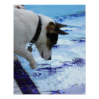 Dog touching water at the swimming pool poster