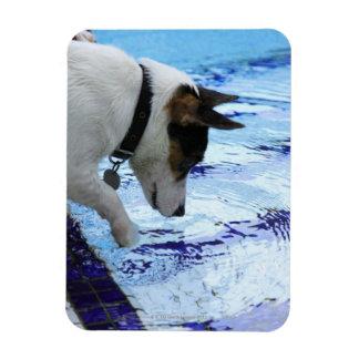Dog touching water at the swimming pool rectangular photo magnet