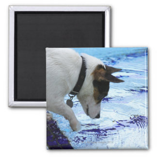 Dog touching water at the swimming pool square magnet