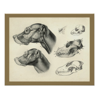Dog Veterinary Skull Head Muscle Anatomy Print