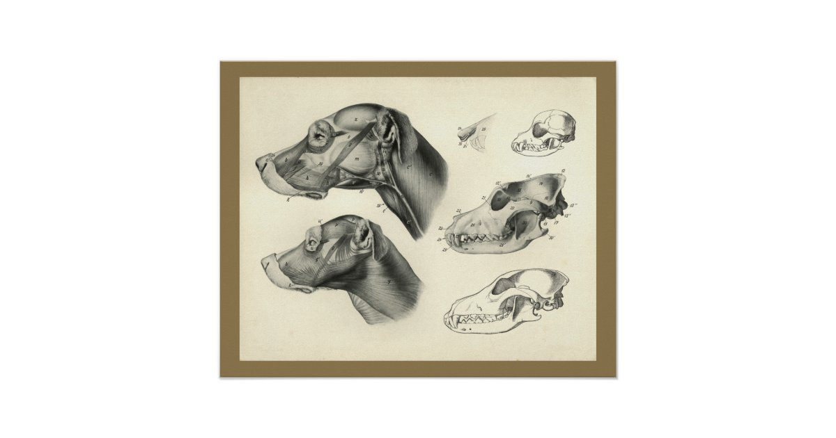 Dog Veterinary Skull Head Muscle Anatomy Print | Zazzle.co.uk