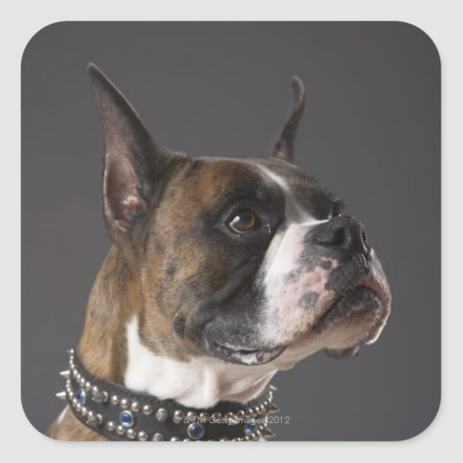 Dog wearing collar, looking away square stickers