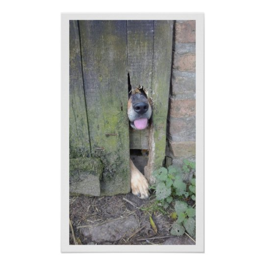 Dog with Nose through Hole in Fence Poster