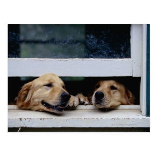 Dogs Looking Out a Window Post Card