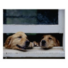 Dogs Looking Out a Window Poster