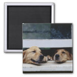 Dogs Looking Out a Window Square Magnet